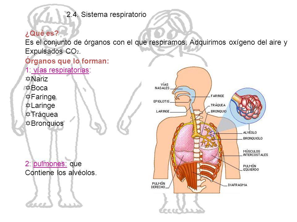 El cuerpo humano 2.4. Sistema respiratorio ¿Qué es