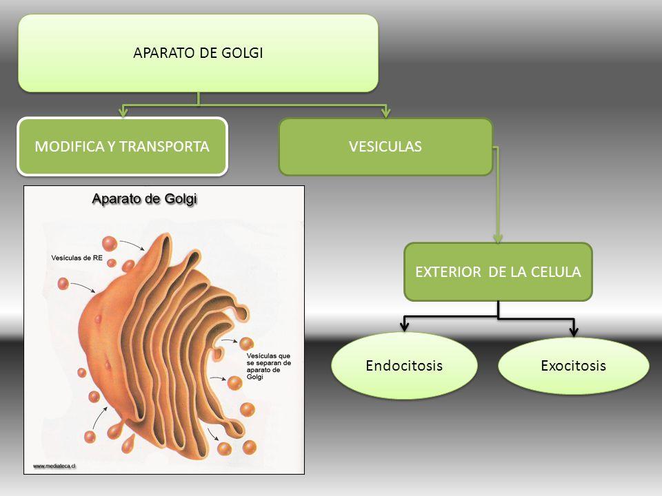APARATO DE GOLGI MODIFICA Y TRANSPORTA VESICULAS EXTERIOR DE LA CELULA Endocitosis Exocitosis