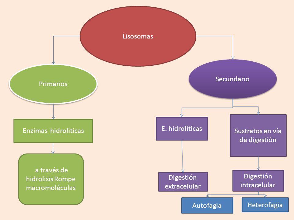 Sustratos en vía de digestión E. hidrolìticas Enzimas hidrolìticas