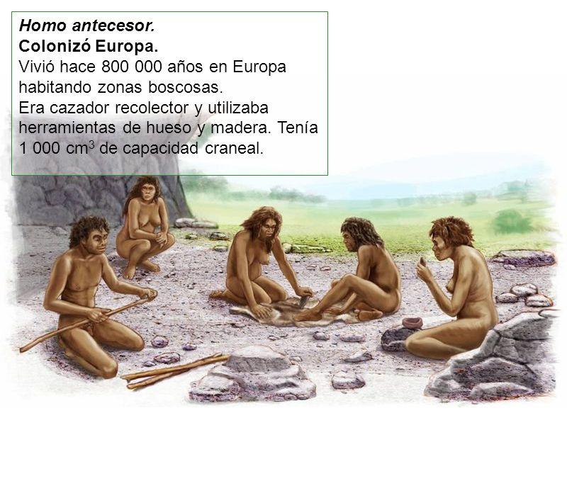 Homo antecesor. Colonizó Europa. Vivió hace 800 000 años en Europa habitando zonas boscosas.