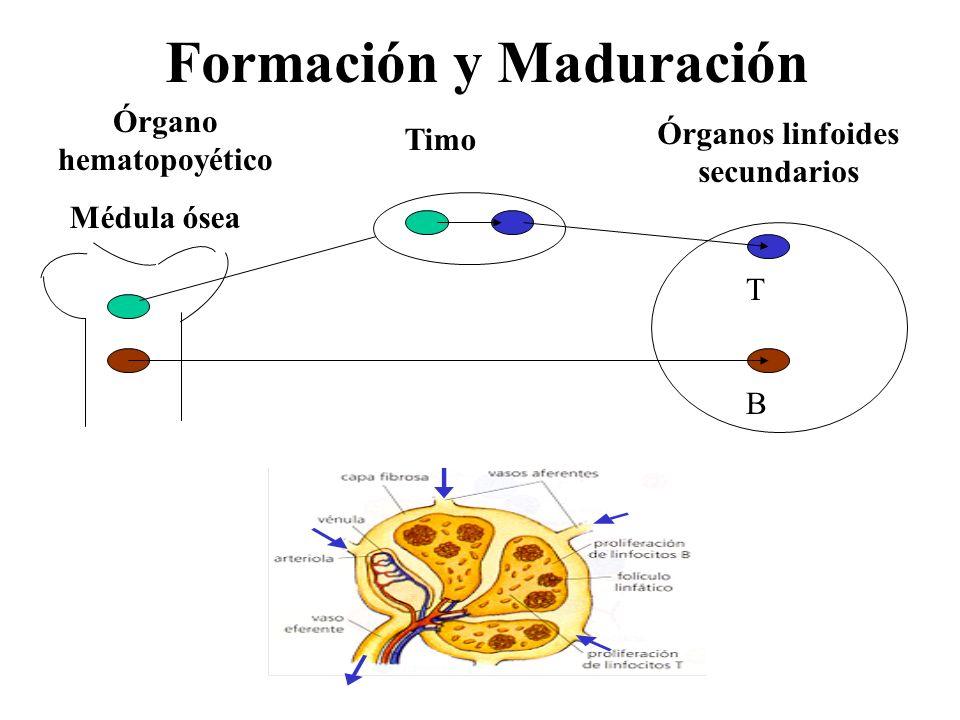 Formación y Maduración