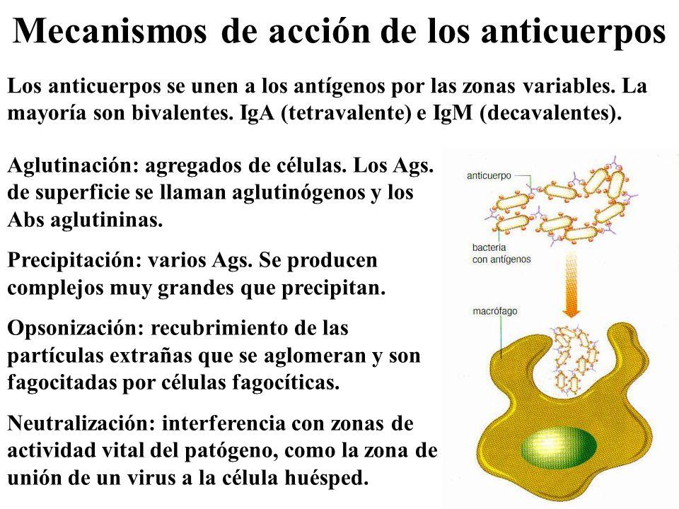 Mecanismos de acción de los anticuerpos