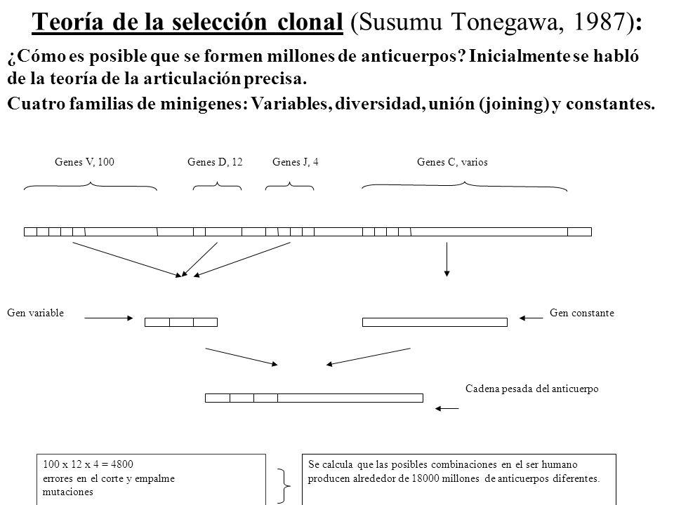 Teoría de la selección clonal (Susumu Tonegawa, 1987):