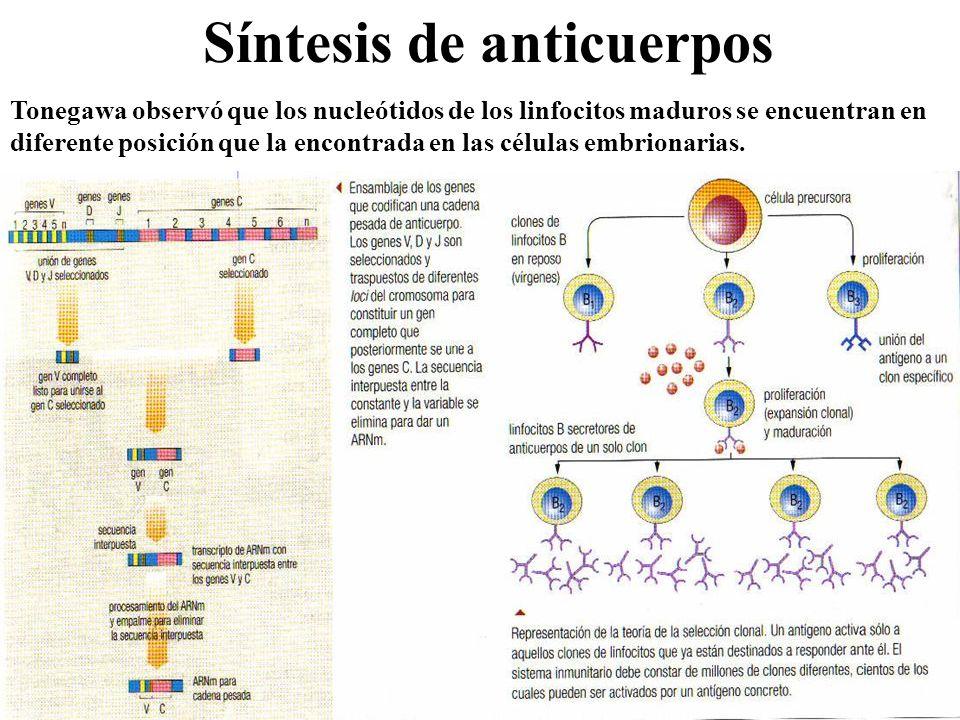Síntesis de anticuerpos