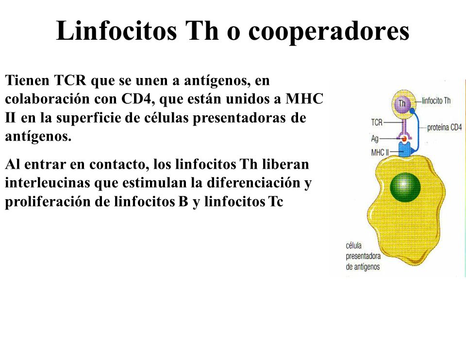 Linfocitos Th o cooperadores
