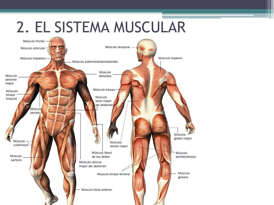 Fantástico El Sistema Muscular Colección de Imágenes - Anatomía de ...