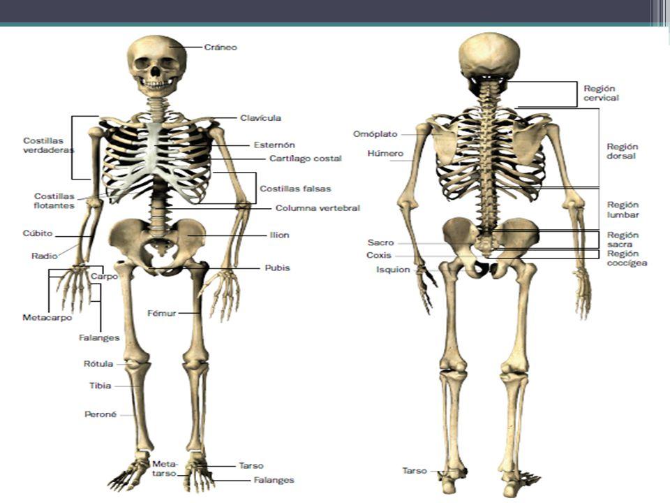 ESQUELETO Cráneo. Columna vertebral. Esqueleto axial. Caja torácica. Cintura torácica. Esqueleto apendicular.