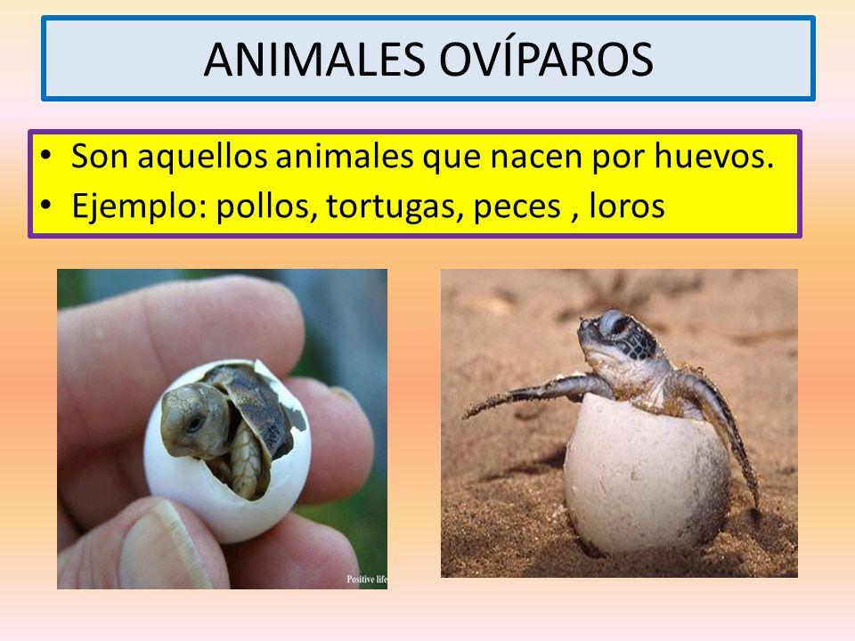 ANIMALES OVÍPAROS Son aquellos animales que nacen por huevos.
