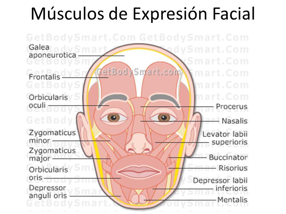 Magnífico Músculos Faciales Anatomía Inspiración - Anatomía de Las ...