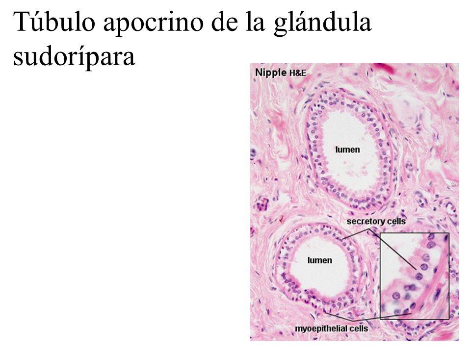 Túbulo apocrino de la glándula sudorípara