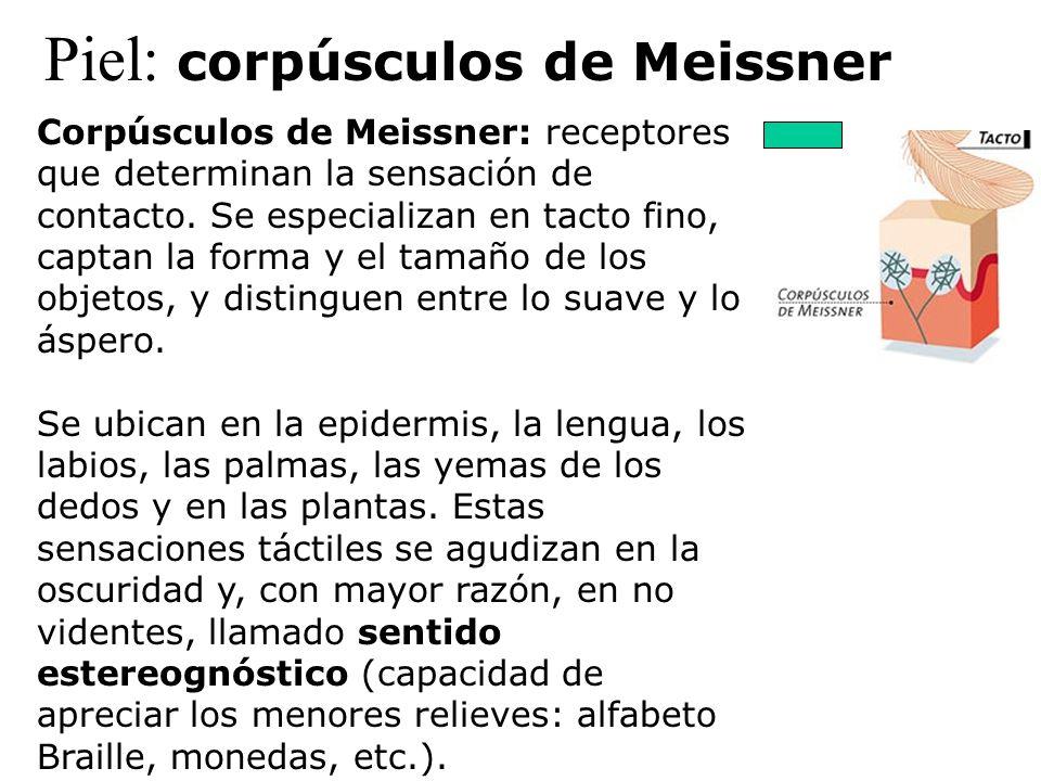 Piel: corpúsculos de Meissner