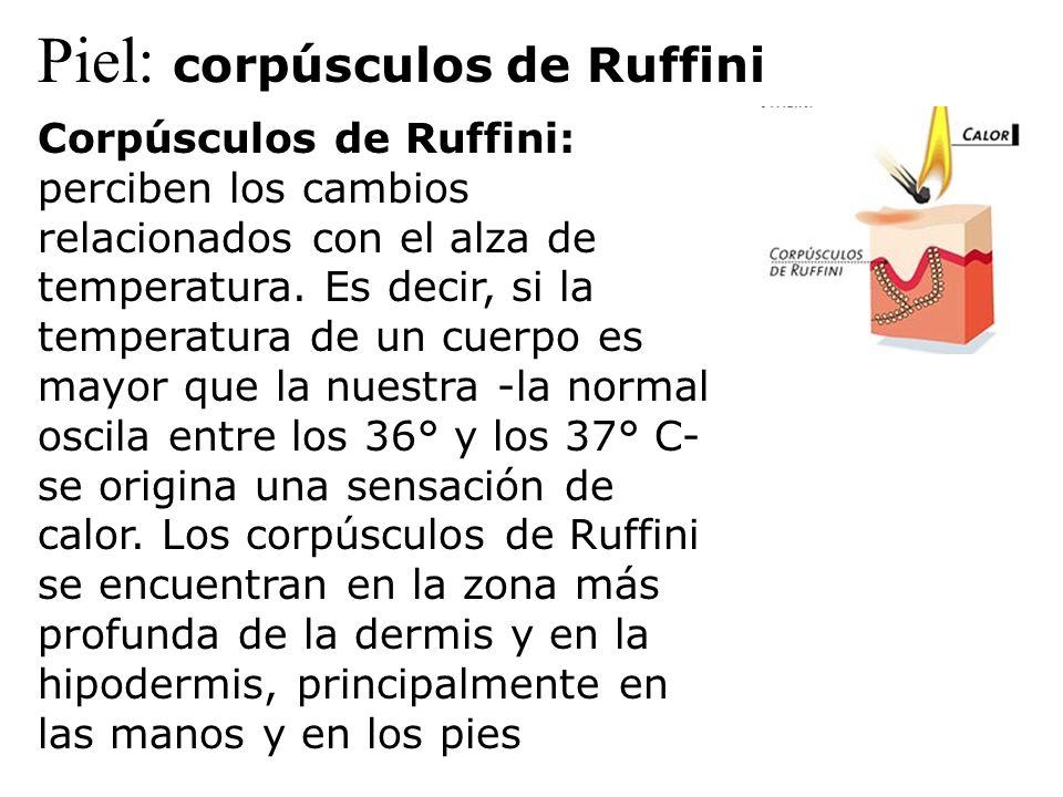 Piel: corpúsculos de Ruffini