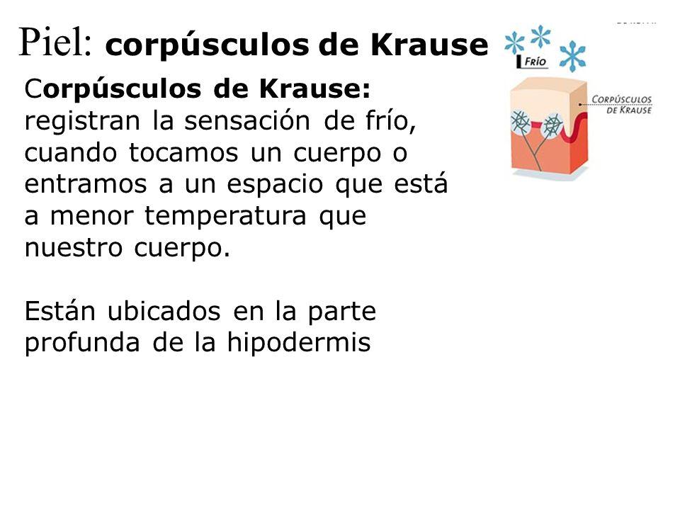 Piel: corpúsculos de Krause