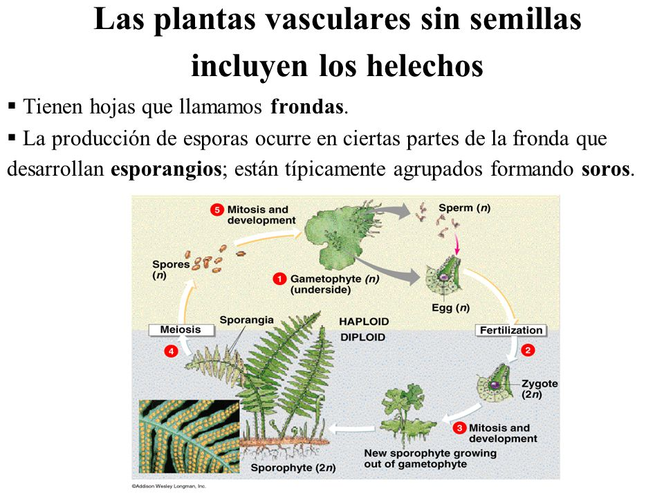 Reino vegetal objetivos ppt descargar for Plantas sin semillas