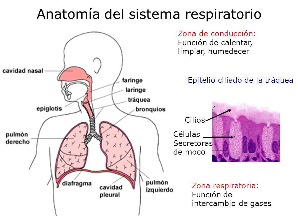 Moderno El Sistema Respiratorio Anatomía Y Fisiología Del Concurso ...