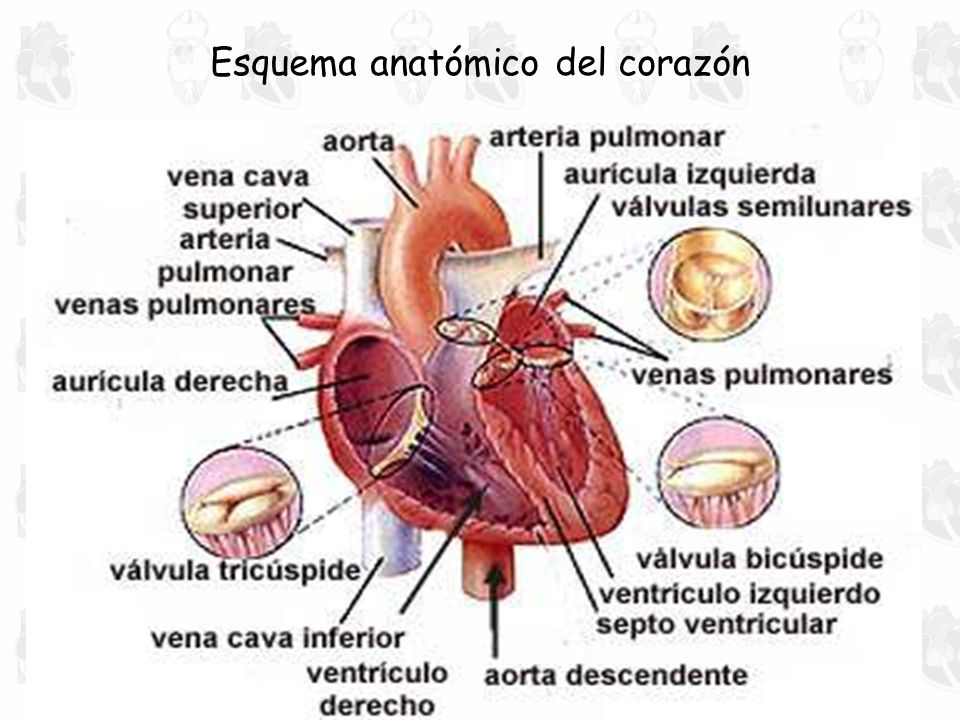 Bonito Corazón Diagrama Anatomía De La Válvula Molde - Anatomía de ...
