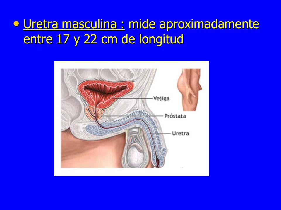Uretra masculina : mide aproximadamente entre 17 y 22 cm de longitud