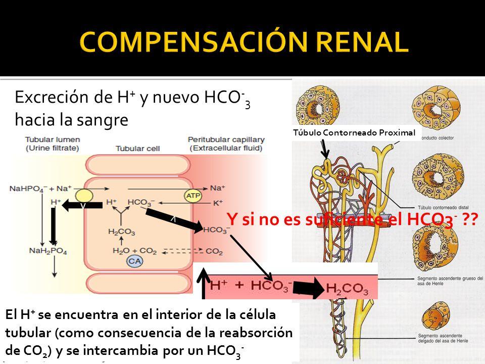 COMPENSACIÓN RENAL Excreción de H+ y nuevo HCO-3 hacia la sangre