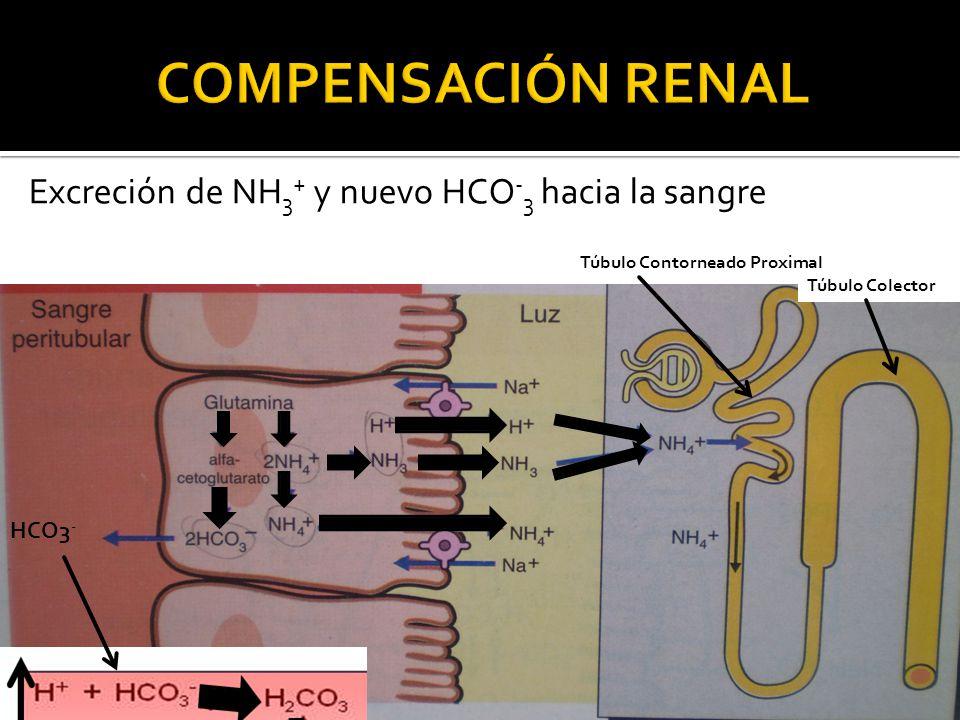 COMPENSACIÓN RENAL Excreción de NH3+ y nuevo HCO-3 hacia la sangre