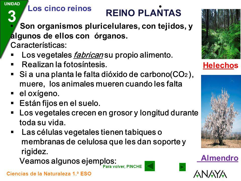 Helechos • REINO PLANTAS. • Son organismos pluricelulares, con tejidos, y algunos de ellos con órganos.