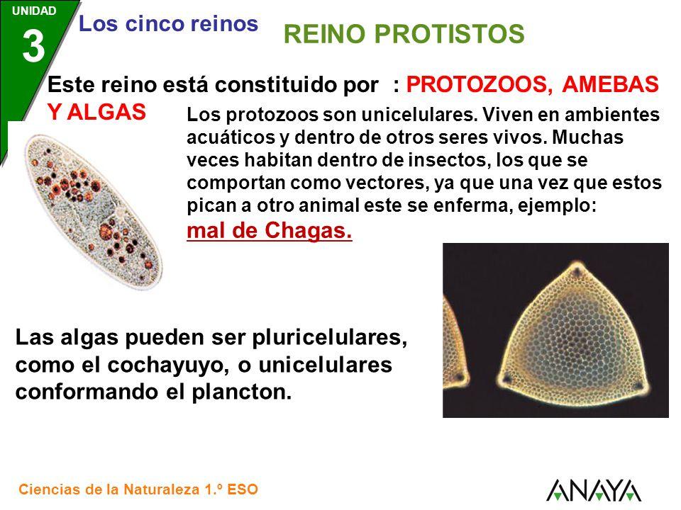 Santillana REINO PROTISTOS. Este reino está constituido por : PROTOZOOS, AMEBAS Y ALGAS.