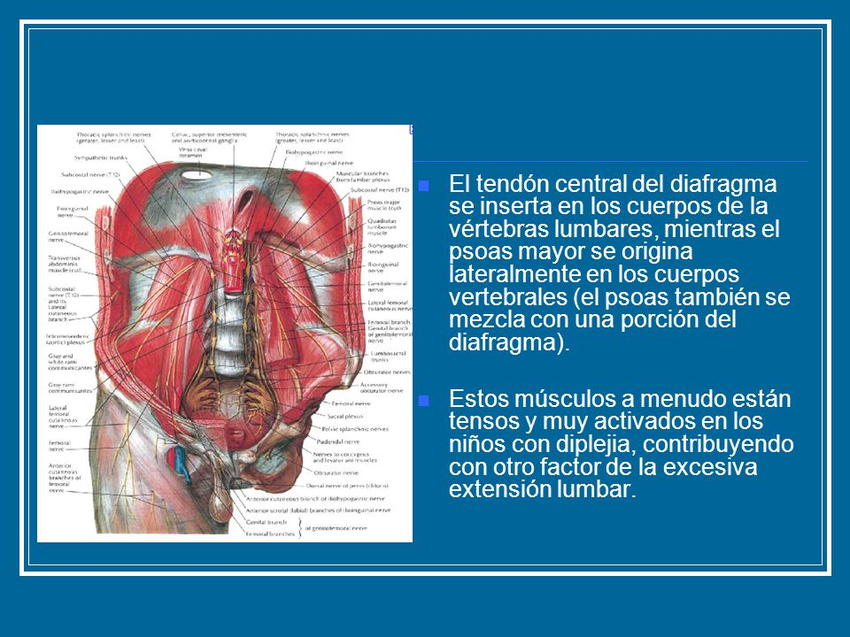 El tendón central del diafragma se inserta en los cuerpos de la vértebras lumbares, mientras el psoas mayor se origina lateralmente en los cuerpos vertebrales (el psoas también se mezcla con una porción del diafragma).