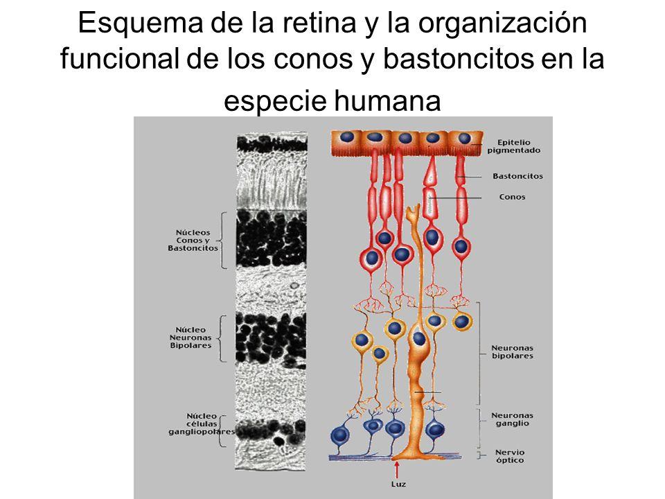 Esquema de la retina y la organización funcional de los conos y bastoncitos en la especie humana