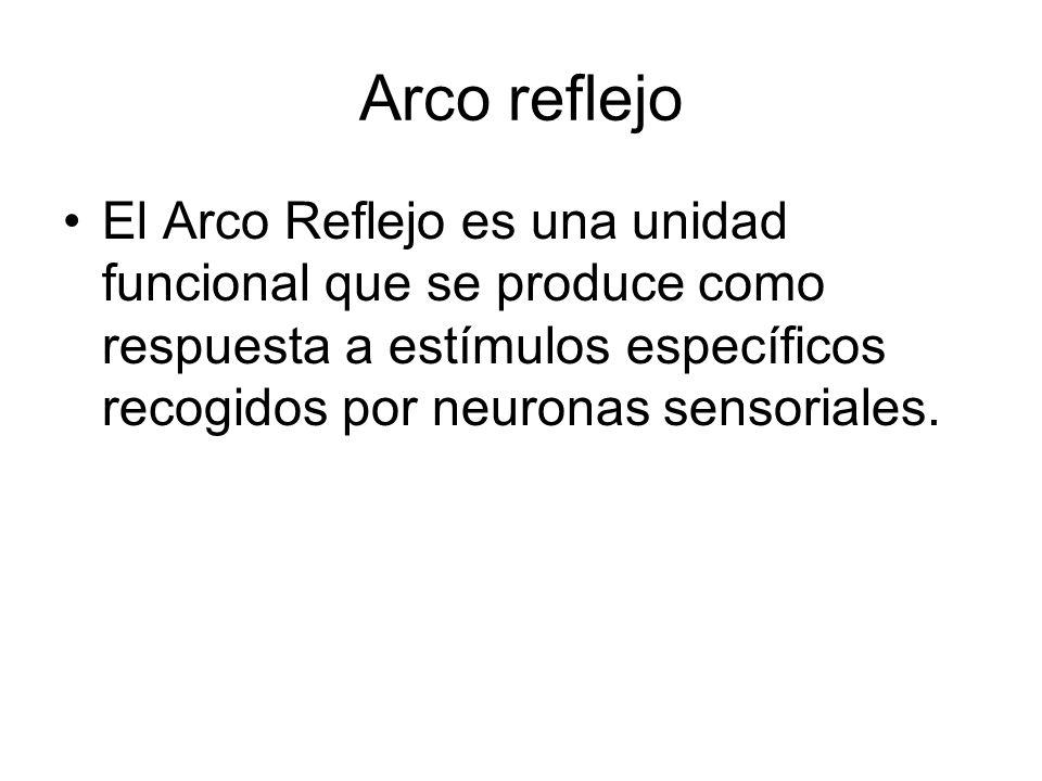 Arco reflejo El Arco Reflejo es una unidad funcional que se produce como respuesta a estímulos específicos recogidos por neuronas sensoriales.