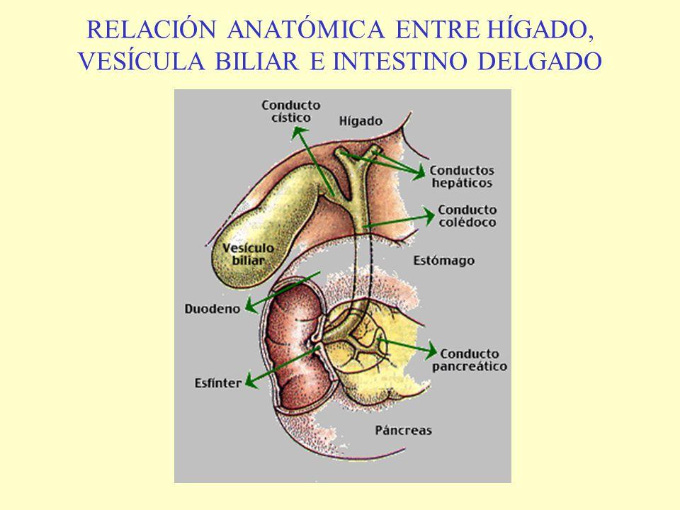 Vistoso Anatomía De La Vesícula Biliar Y El árbol Biliar Ilustración ...