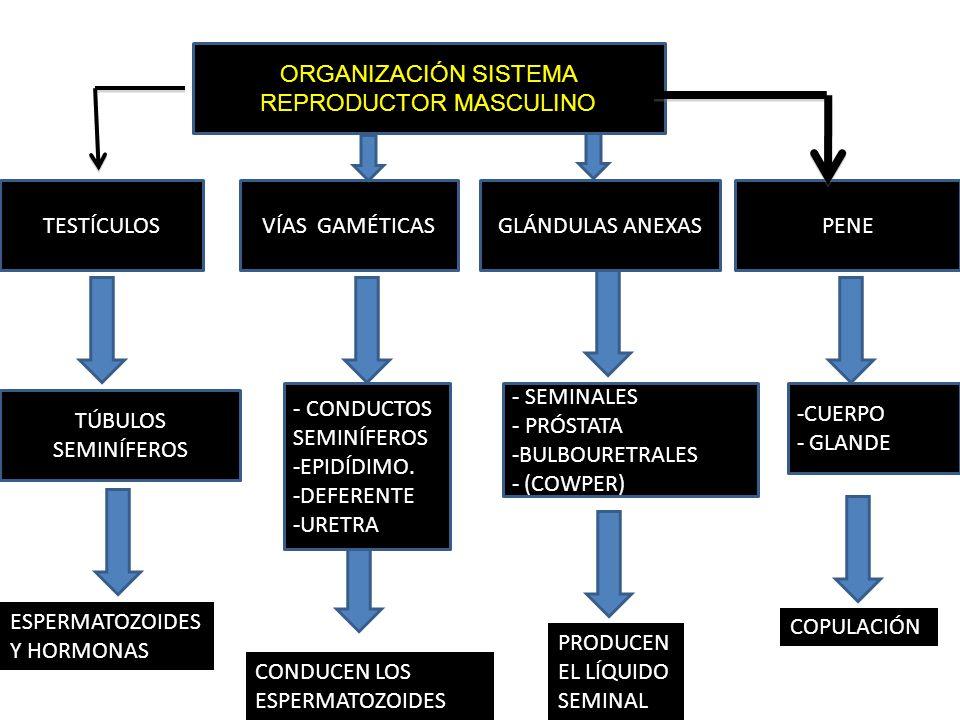 Magnífico Diagrama Del Sistema Reproductor Masculino Y Femenino ...