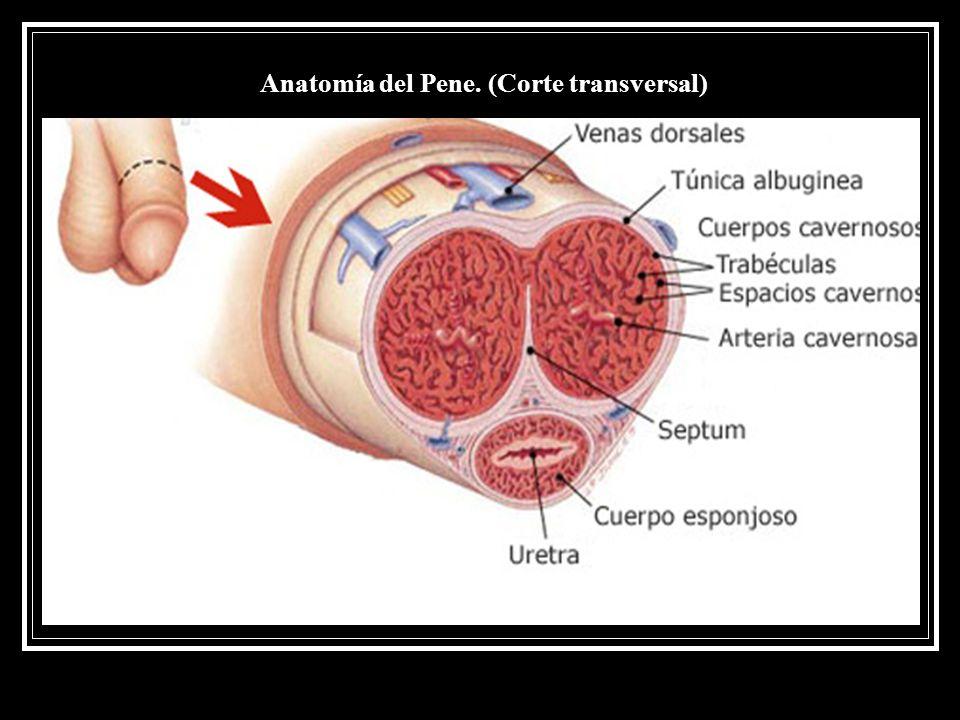 Único Anatomía Macroscópica De Sistema Reproductor Masculino Bandera ...