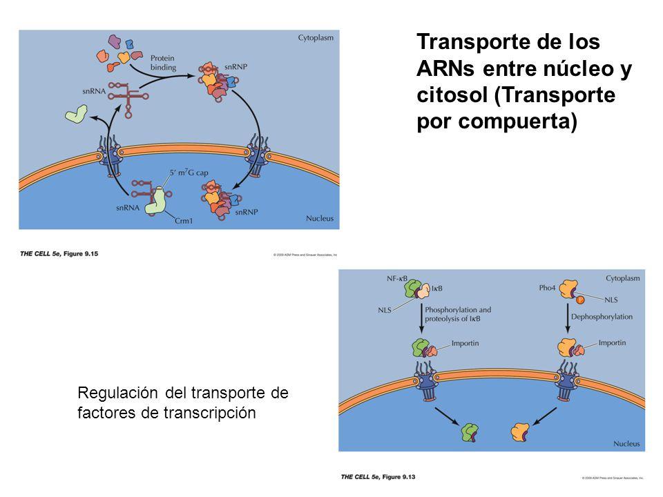 Transporte de los ARNs entre núcleo y citosol (Transporte por compuerta)