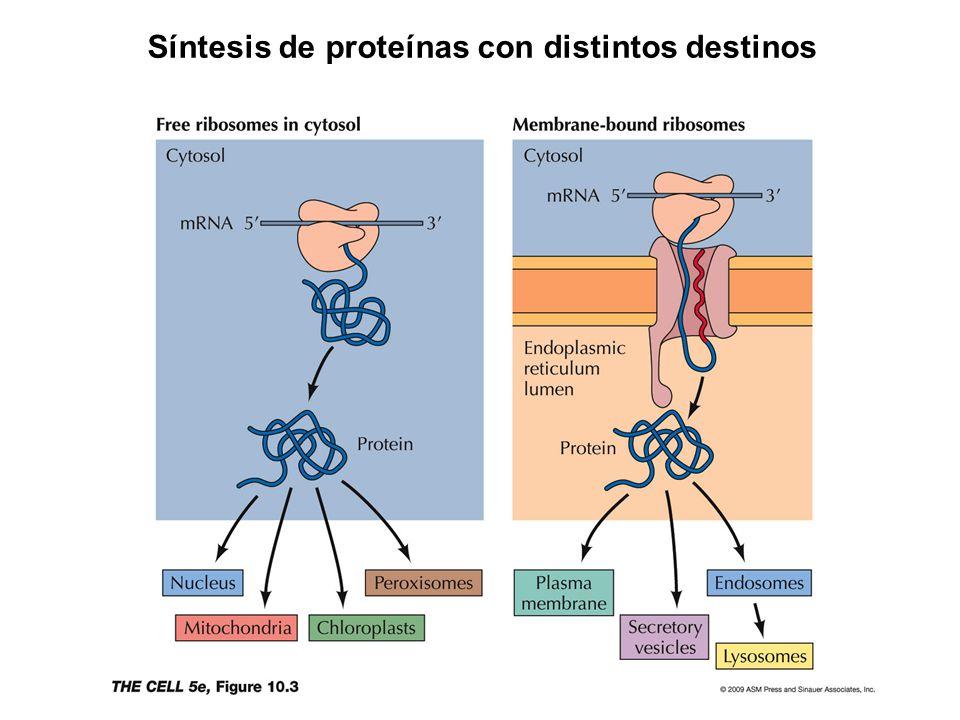 Síntesis de proteínas con distintos destinos