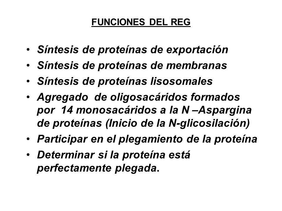 Síntesis de proteínas de exportación