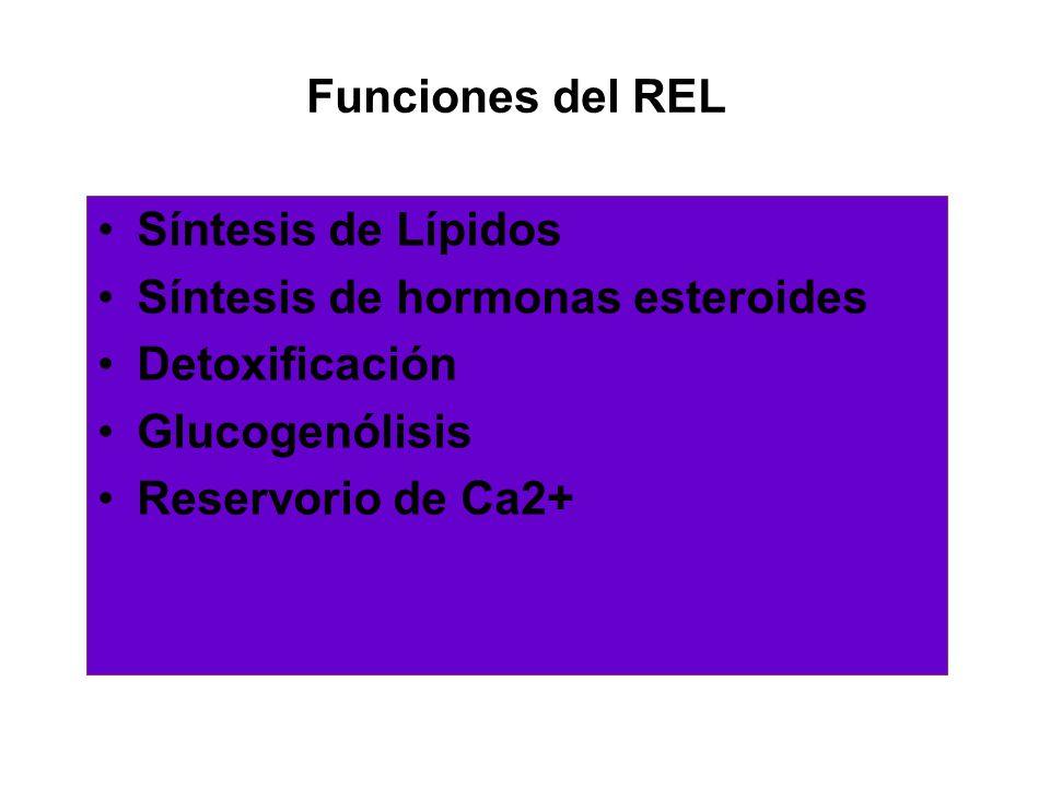 Funciones del REL Síntesis de Lípidos. Síntesis de hormonas esteroides. Detoxificación. Glucogenólisis.