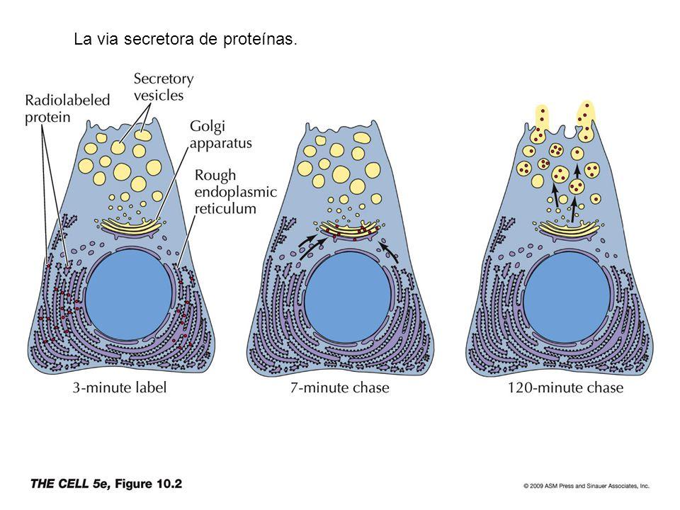 La via secretora de proteínas.