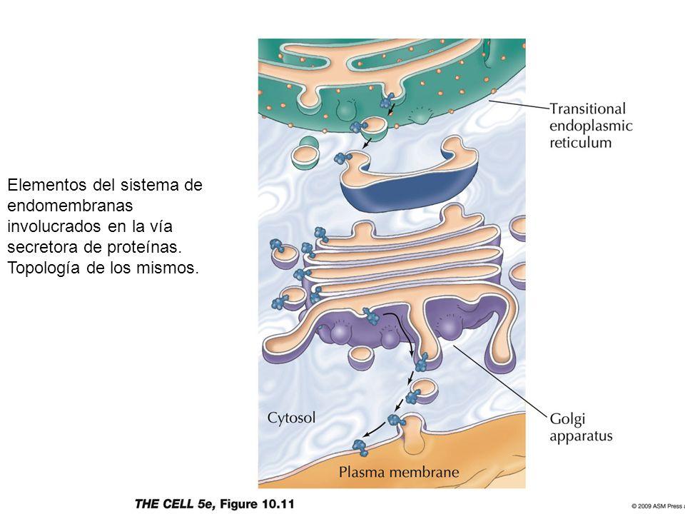 Elementos del sistema de endomembranas involucrados en la vía secretora de proteínas.