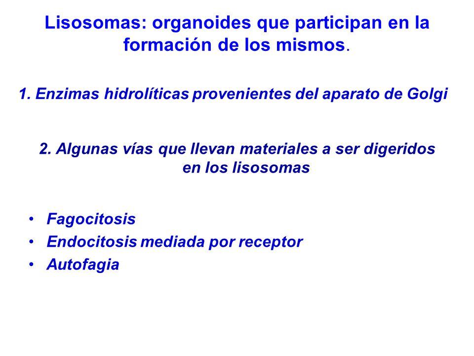 Lisosomas: organoides que participan en la formación de los mismos.