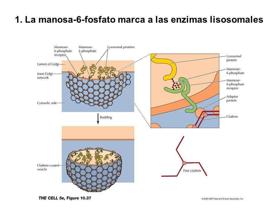 1. La manosa-6-fosfato marca a las enzimas lisosomales