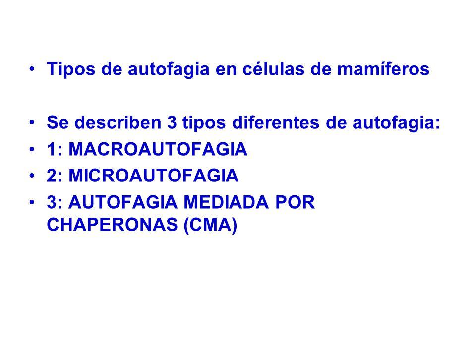 Tipos de autofagia en células de mamíferos