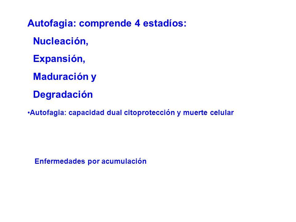 Autofagia: comprende 4 estadíos: Nucleación, Expansión, Maduración y
