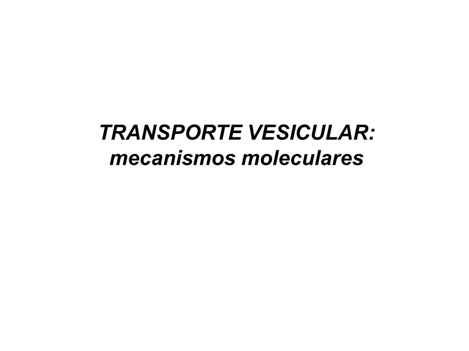 TRANSPORTE VESICULAR: mecanismos moleculares