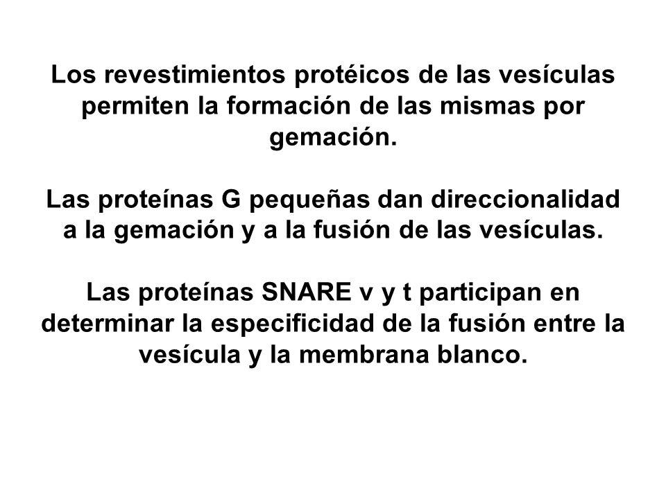 Los revestimientos protéicos de las vesículas permiten la formación de las mismas por gemación.