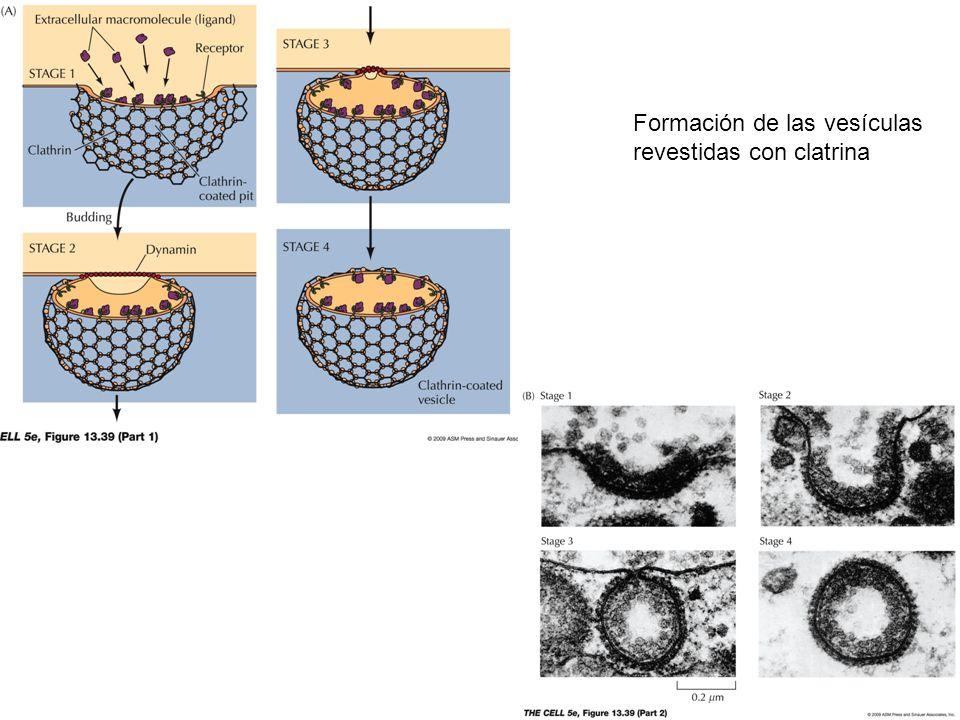 Formación de las vesículas revestidas con clatrina