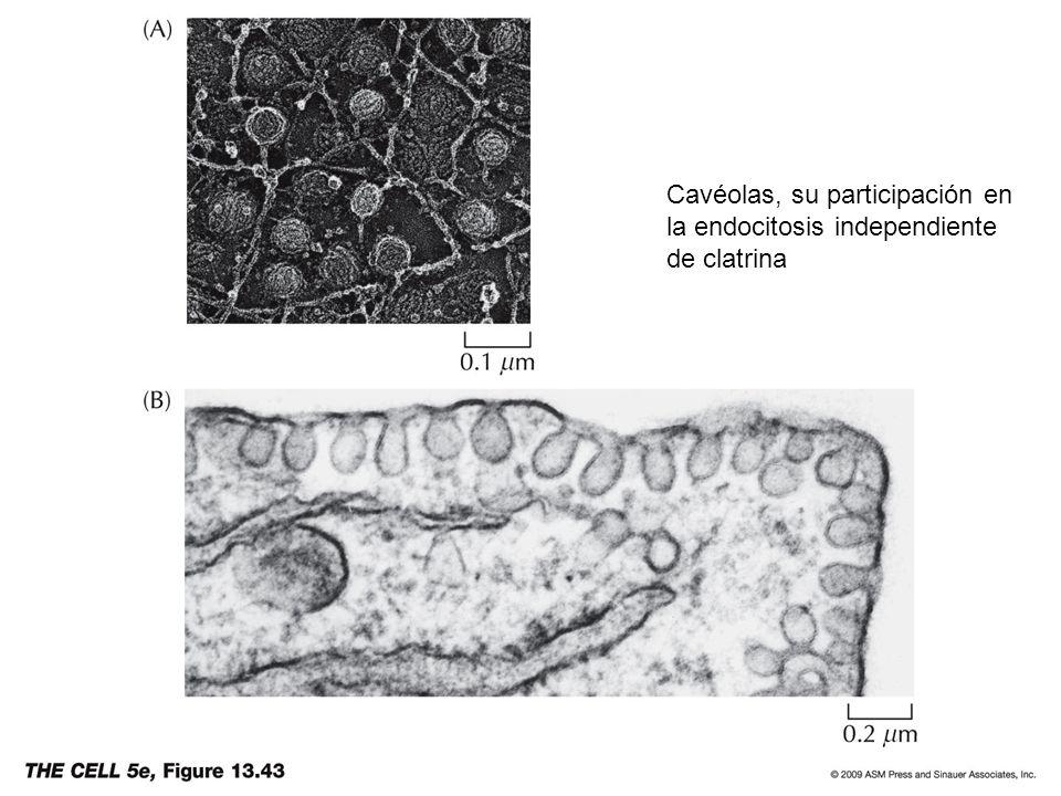 Cavéolas, su participación en la endocitosis independiente de clatrina