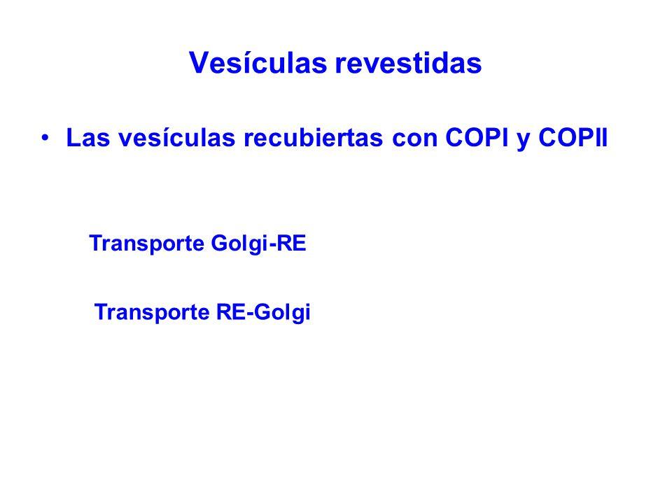 Vesículas revestidas Las vesículas recubiertas con COPI y COPII