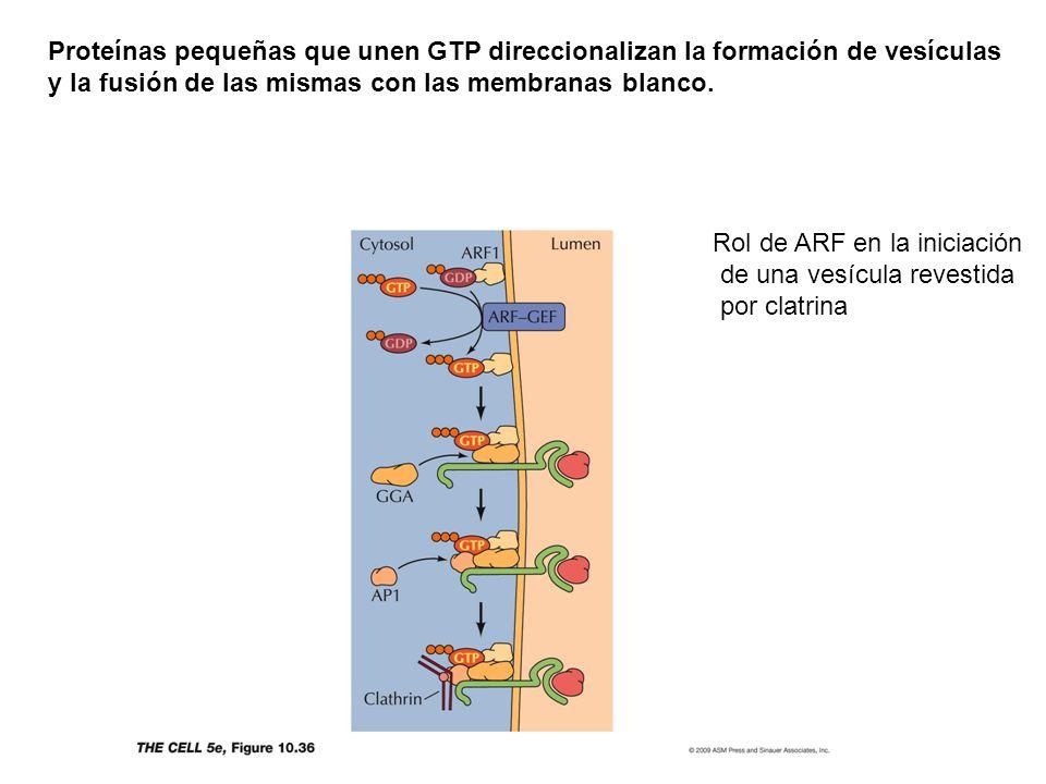Proteínas pequeñas que unen GTP direccionalizan la formación de vesículas