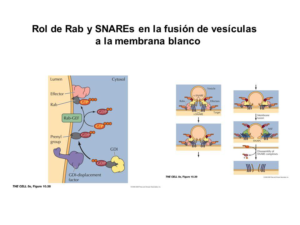 Rol de Rab y SNAREs en la fusión de vesículas