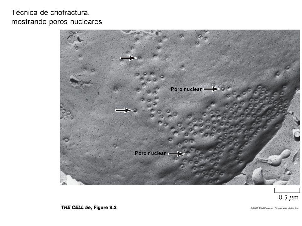 Técnica de criofractura, mostrando poros nucleares