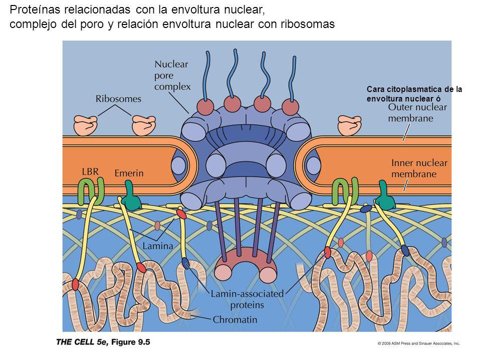 Proteínas relacionadas con la envoltura nuclear,